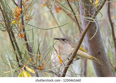 Brown Honeyeater bird with yellow tuft behind eye perching on branch in forest, Western Australia (Lichmera indistincta)