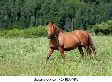 Brown horse with beautiful mane walking through a meadow in Quebec, Canada