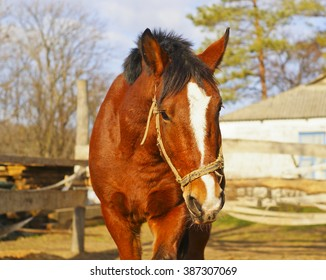 brown horse with a big white blaze on his head stand in paddock on a background of wooden fence