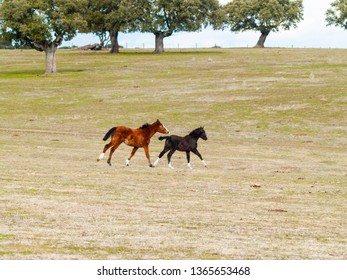 A brown horse and a black colt galloping in the dehesa in Salamanca (Spain). Ecological extensive livestock concept.