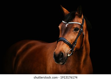 Brown horse with a black leather bridle in front of a black studio background
