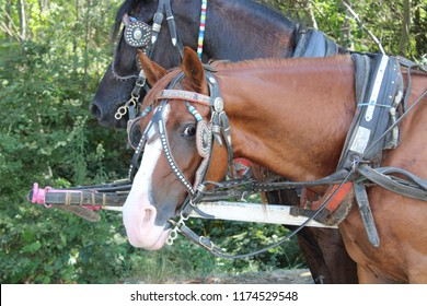 Brown Horse with blinkers on looking directly in to the Camera taken in Bulgaria, the horse is attached to a carriage and at the side of the horse there is a black horse also with blinkers on.