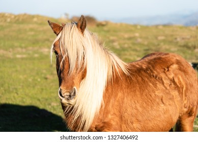 Brown horse with blonde horsehair from the Basque country.