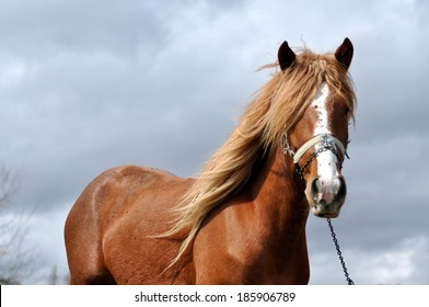 Brown horse with blonde mane in the nature