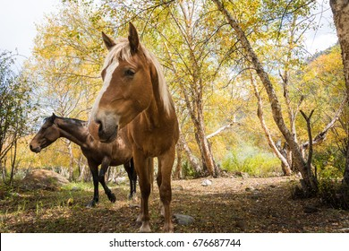 Brown horse and chestnut horse without bridles standing in sunshine among yellow trees on a sunny afternoon in the mountains of Kyrgyzstan