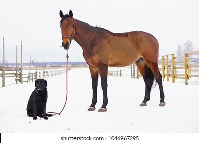 Brown horse with a clipped out coat posing on a snow next to a cute black Labrador dog