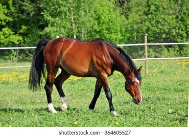 Brown horse in corral with white fence