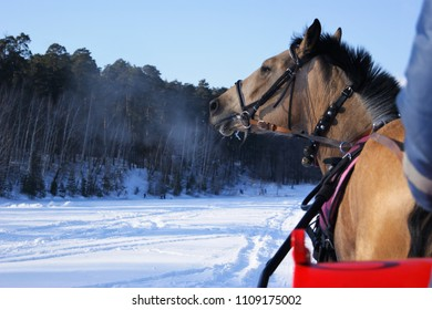 A brown horse drawn runs in the winter on the snow in the background of the forest