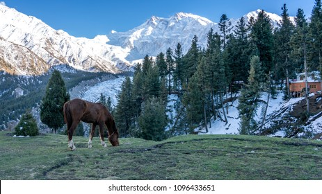 A brown horse eat grass on a meadow with Nanga Parbat mountain peak background,Gilgit, Balistan, Pakistan