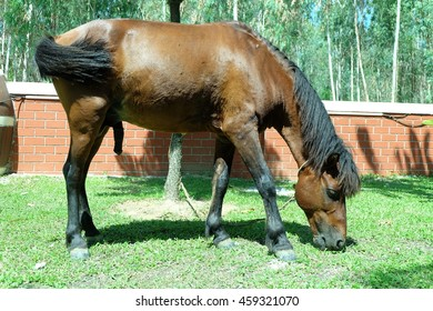 Brown horse eating grass in the morning.