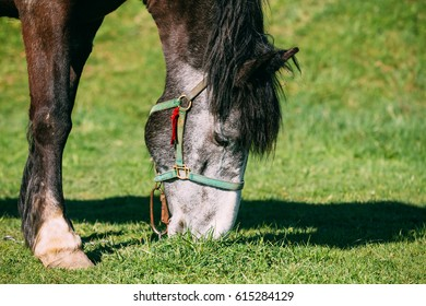 Brown Horse Eating Grass In Spring Pasture. Close-up Of Head Of Horse Eating Grass.