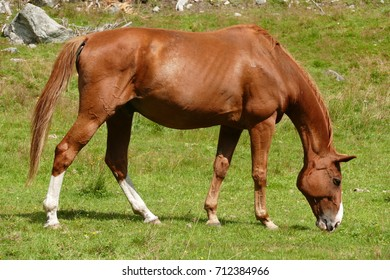 Brown horse eating on a secluded mountain pasture very high in the  Alps of Austria