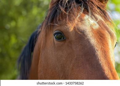 Brown horse eye close up