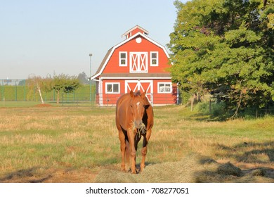 A brown horse is feeding on hay in front of a small, red barn on a hobby farm.