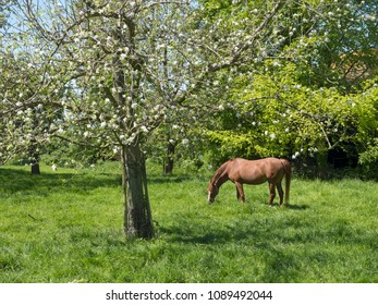 brown horse and flowering fruit tree in dutch spring orchard near farm in the province of south holland