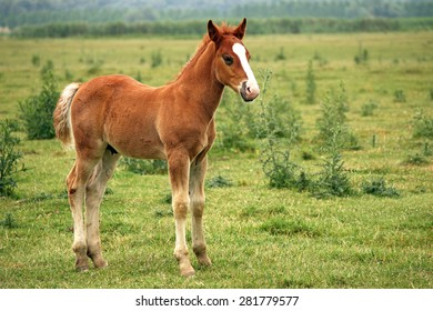 brown horse foal on pasture