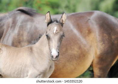 brown horse foal standing and looking in front of mare