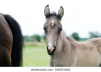 brown horse foal standing and looking on pasture