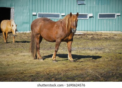 brown horse in front of barn during spring farm mammal rural scene