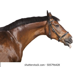 a brown horse in front of a white background sticks his tongue out of the mouth