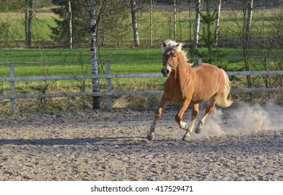 Brown horse gallop on dusty riding arena