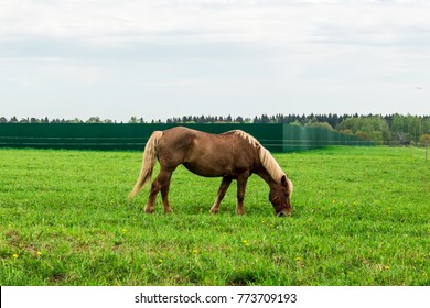 Brown horse is grazed on a spring meadow with green grass in Moscow region Russia