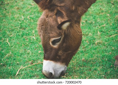 A brown horse grazing on a pasture
