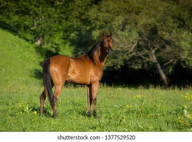 Brown horse in green meadows