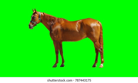 Brown Horse Isolated on Chroma Key Green Background