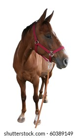 Brown horse isolated on white background photographed a wide angle lens