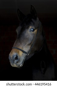brown horse in leather halter stands on a black background