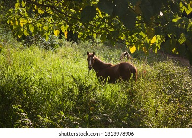 A brown horse in the light of the setting sun surrounded by green grass on Eua island in Tonga