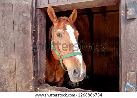 Brown horse looking out of barn window