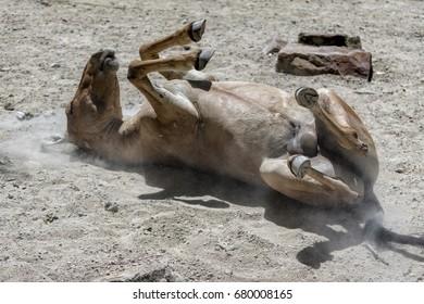 Brown horse lying around sand