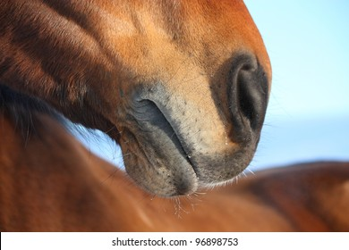 Brown horse nose close up