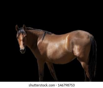 Brown horse on black background