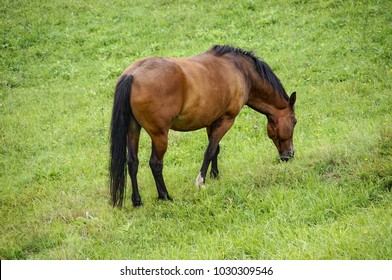 A brown horse on a spring meadow. A grazing horse.