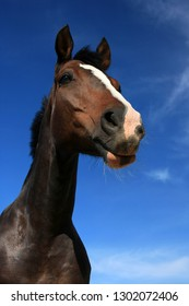 Brown horse portrait and blue sky