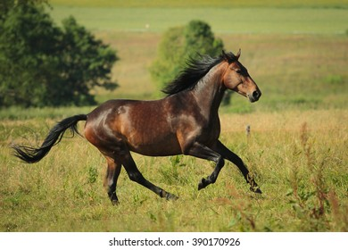 Brown horse running free