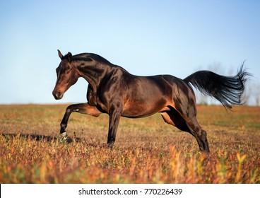 brown horse runs gallop on a spring field at dawn