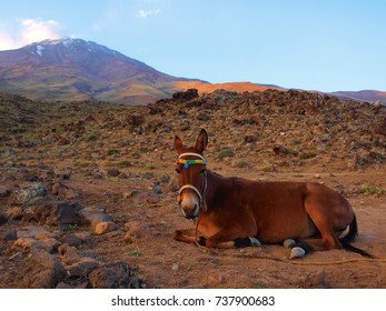 Brown horse sitting in front of Damavand mountain, Iran