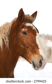 A brown horse with a snowy winter background.