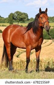 brown horse is standing in corn field