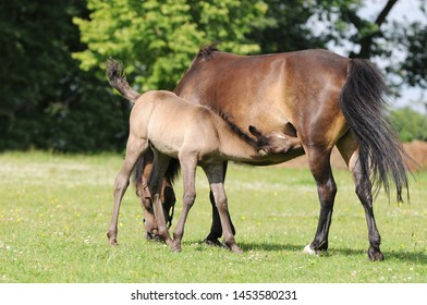 brown horse standing on pasture and suckles foal
