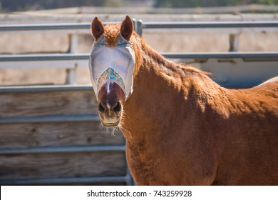A brown horse wearing a fly mask turns to look at photographer.  Fly masks are worn by horses to protect them from flies.  Unlike blinders, the horse can see trough them.
