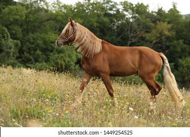 Brown horse welsh pony with long blond mane walking in green grass with forest on background