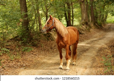 brown horse welsh pony standing in forest path