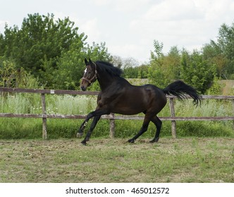 brown horse with a white blaze on the head with a black mane and tail runs in the paddock on the grass near a wooden fence