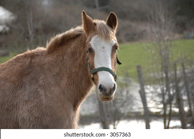 Brown Horse with white nose looking right towards camera in meadow