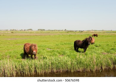 Brown horses in summer landscape with Dutch meadows